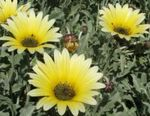 Photo Cape Daisy, Monarch of the Veldt, yellow