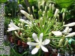 Photo Lily of the Nile, African Lily, white