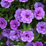 Photo Calibrachoa, Million Bells, lilac