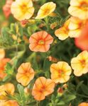 Photo Calibrachoa, Million Bells, orange