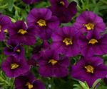 Photo Calibrachoa, Million Bells, purple