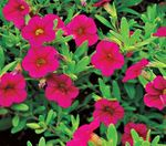 Photo Calibrachoa, Million Bells, pink