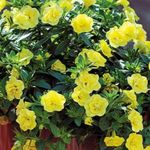 Photo Calibrachoa, Million Bells, yellow