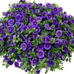 Photo Calibrachoa, Million Bells, blue