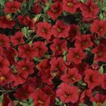 Photo Calibrachoa, Million Bells, red