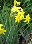 Peruvian Daffodil, Perfumed Fairy Lily, Delicate Lily