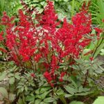 Photo Astilbe, False Goat's Beard, Fanal, red