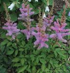 Photo Astilbe, False Goat's Beard, Fanal, lilac