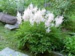 Photo Astilbe, False Goat's Beard, Fanal, white