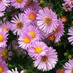 Photo Aster, pink