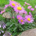 Photo Alpine Aster, pink
