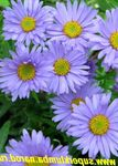 Photo Alpine Aster, light blue