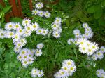 Photo Alpine Aster, white
