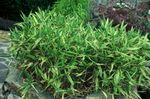 Photo Dwarf White-Stripe bamboo, Kamuro-zasa, green Cereals