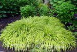 Hakone Grass, Japanese Forest Grass