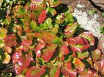 Photo Schizocodon, multicolor Leafy Ornamentals