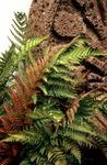 Photo Male fern, Buckler fern, Autumn Fern, red