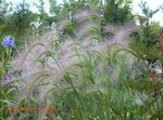 Foxtail barley, Squirrel-Tail