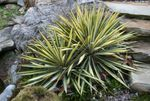 Photo Adam's Needle, Spoonleaf Yucca, Needle-Palm, multicolor Leafy Ornamentals