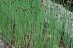 Photo Broadleaf Cattail, Bulrush, Cossack Asparagus, Flags, Reed Mace, Dwarf Cattail, Graceful Cattail, green Aquatic Plants
