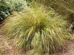 Photo Pheasant's Tail Grass, Feather Grass, New Zealand wind grass, yellow Cereals