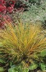 Photo Pheasant's Tail Grass, Feather Grass, New Zealand wind grass, red Cereals
