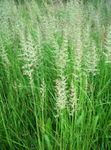 Photo Feather reed grass, Striped feather reed, green Cereals