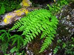Photo Woodsia, green Ferns