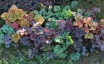 Heuchera, Coral flower, Coral Bells, Alumroot