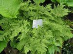 Limestone Oak Fern, Scented Oak Fern