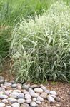 Ribbon Grass, Reed Canary Grass, Gardener's Garters