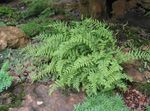 Photo Hay Scented Fern, green