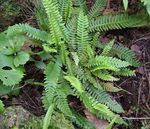 Photo Blechnum, green Ferns