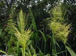 Photo Northern Wild-rice, light green Cereals