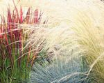 Photo Cogon Grass, Satintail, Japanese Blood Grass, red Cereals