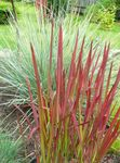 Cogon Grass, Satintail, Japanese Blood Grass