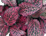 Photo Bloodleaf, Chicken Gizzard, multicolor Leafy Ornamentals