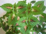 Photo Coleus, Flame Nettle, Painted Nettle, green Leafy Ornamentals