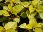 Photo Coleus, Flame Nettle, Painted Nettle, yellow Leafy Ornamentals