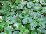 Photo Asarabacca, European Wild Ginger, green Leafy Ornamentals