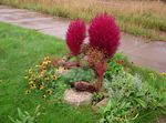 Photo Kochia, Burning Bush, Summer Cypress, Mexican Fireweed, Belvedere, red Leafy Ornamentals