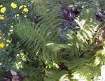 Photo Lady fern, Japanese painted fern, green