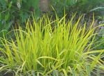 Photo Foxtail grass, yellow Cereals