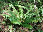 Photo Black Lady Fern, green