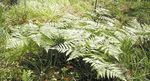 Photo Western Bracken Fern, Brake, Bracken, Northern Bracken Fern, Brackenfern, green