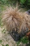 New Zealand Hair Sedge