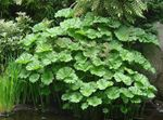 Photo Umbrella Plant, Indian Rhubarb, green Leafy Ornamentals