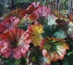Photo Umbrella Plant, Indian Rhubarb, multicolor Leafy Ornamentals