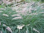 Photo Chinese fountain grass, Pennisetum, green Cereals