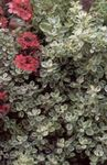 Photo Plectostachys, silvery Leafy Ornamentals